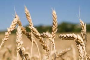 Экспортная пошлина позволила сократить на треть поставки пшеницы за границу