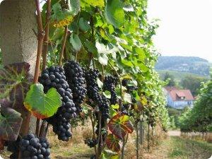 Крымские виноградники могут привлечь французские инвестиции
