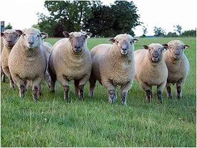 Преимущества и недостатки бизнеса по разведению овец