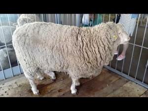 Выбор породы овец