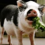 Бизнес-план по открытию свинофермы