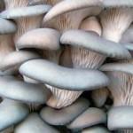 Бизнес-план: выращивание грибов вешенка