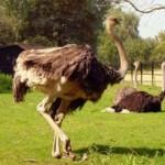 Как открыть страусиную ферму. Бизнес-план