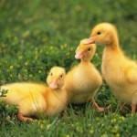 Бизнес по разведению гусей