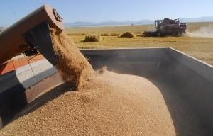 Стоимость пшеницы за неделю возросла на 8%