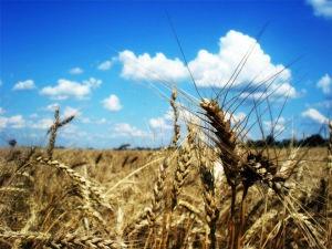 Урожай зерна в Башкирии должен составит 3.6 млн тонн