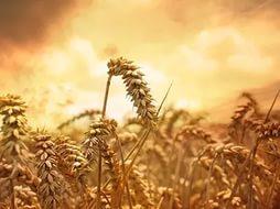 Россия уменьшает экспорт пшеницы