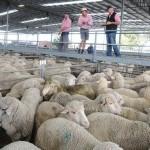 Овцеводство – интересный и прибыльный бизнес для начинающего фермера