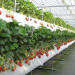 Бизнес на выращивании клубники и объективный взгляд на него